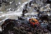Sally Lightfoot Crab or Red Rock Crab, Galapagos Islands — Stock Photo