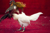 Cockfight in Ecuador. Popular sport and tradition. — 图库照片