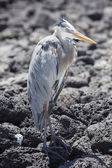 Great blue heron with its neck pulled in, Galapagos — Stock Photo