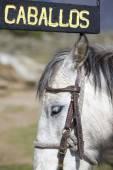 Cartel y caballo blanco en Mérida, Venezuela — Foto de Stock