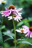 Echinacea purpurea in the garden — Stock Photo