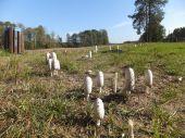 Canine agaric mushroom (Coprinus comatus). — Stock Photo