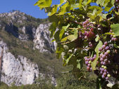Fruit vine grapes on a sunny day in the Balkans — Stock Photo