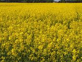 Flourishing Field Of Yellow Rape — Stock Photo