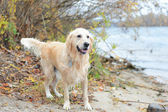 Golden retriever on the beach — Stock Photo