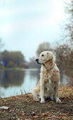 Obedient golden retriever — Foto Stock