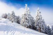 雪に覆われた松林 — ストック写真