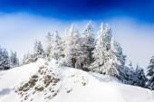 Piniemi pokrytý sněhem — Stock fotografie