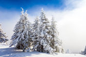 Pine trees covered in snow — Stock Photo