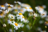Field of daisies on meadow at spring time — Stock Photo