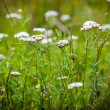 Achillea millefolium (yarrow) white wild flower — Stock Photo #67916543