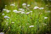 Achillea millefolium (yarrow) white wild flower — Stock Photo