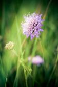 Cornflower on green meadow background — Stock Photo