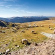 Flock of sheeps eating grass on top of the mountain in Romania — Stock Photo #74719521