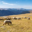 Flock of sheeps eating grass on top of the mountain in Romania — Stock Photo #74719591