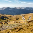 Flock of sheeps eating grass on top of the mountain in Romania — Stock Photo #74719651
