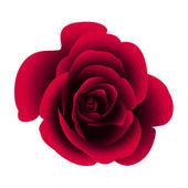 Single flower rose. — Stock Vector