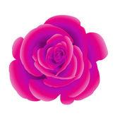 Single flower of purple rose. — Stock Vector
