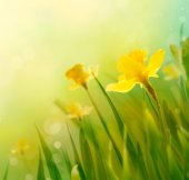 Daffodil spring background — Stock fotografie
