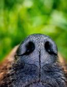 Dog snout — Stock Photo