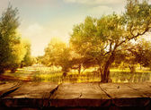 Olive orchard — Stock Photo