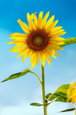 Sunflower (lat. Helianthus) with blue sky, Germany — Stock Photo