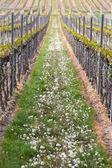 Vineyard in Pfalz, Germany — Stock Photo