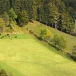 Herd of cows in Dolomites, European Alps, Italy — Stock Photo #61142963