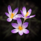 Blooming violet Crocus at springtime — Stock Photo