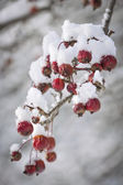 Crap apples on snowy branch — Stock Photo