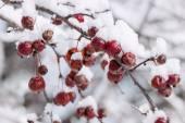 Crap apples on snowy branch — Stock Photo