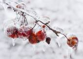 Crap apples on icy branch — Stock Photo