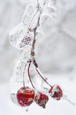 Icy branch with crab apples — Stock Photo