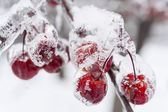 Frozen crab apples on snowy branch — Stock Photo