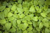Lemon balm leaves — Stock Photo