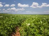 Potato field in Prince Edward Island — Stock Photo