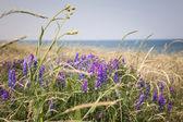 Wildflowers on Prince Edward Island — Stock Photo
