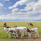Cows in pasture — Stock Photo