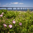 Wild roses at Confederation Bridge — Stock Photo #65699633
