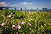 Wild roses at Confederation Bridge — Stock Photo