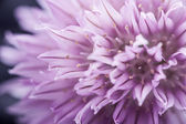 Purple Chive flower — Stock Photo