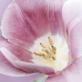 Pink tulip macro — Stock Photo