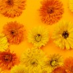 Calendula flowers background — Stock Photo #72979427