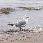 Seagull on foggy beach — Stock Photo
