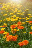 Calendula flowers in garden — Stock Photo