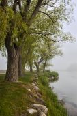 Foggy lake and row of old trees — Stock Photo