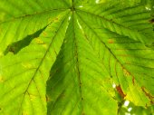 Castania leaf at closeup outdoors in daylight — Stock Photo