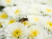 Bee gathering nectar while pollinating a pile of white flowers w — Stock Photo