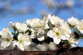 Fleur blanche — Photo