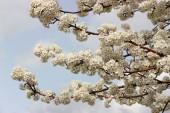 Tree Blossom — Stock Photo